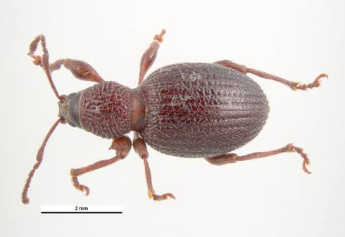 Strawberry root weevil adult. Photo: Pest and Diseases Library, Bugwood.org