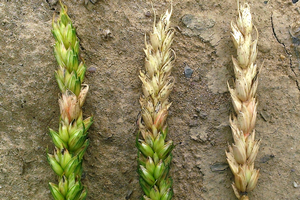 Fusarium may infect single spikelets, multiple adjacent spikelets, or the entire head.