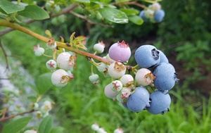 Supplemental label issued for Verdepryn to control blueberry stem gall wasp