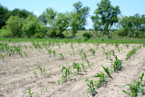 Patchy corn left after sandhill cranes damaged a field.