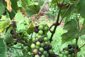 Pre-harvest considerations and research vineyard update meeting