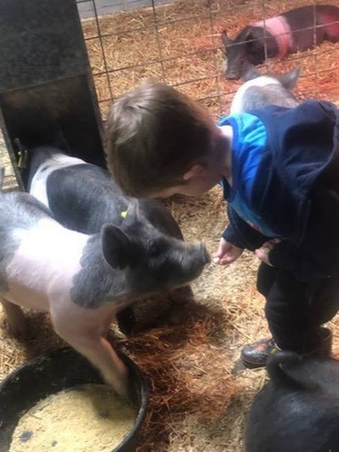 Child feeding two pigs