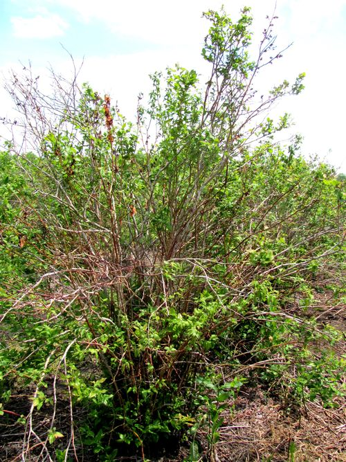 Blueberry plant with collapsing shoots. All photos: Carlos Garcia-Salazar, MSU Extension