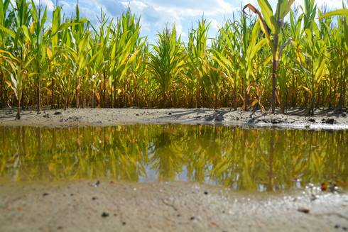 Puddle in corn field