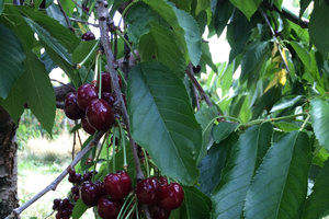 Don't miss out on Michigan cherries