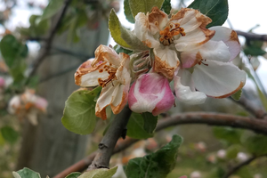 Southwest Michigan fruit update – 2020 review
