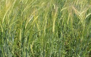 Spartan barley, bred over 100 years ago by the Michigan Agricultural Experiment Station, is now available through the Michigan Crop Improvement Association in very limited quantities. | Photo by Ashley McFarland, MSU Extension