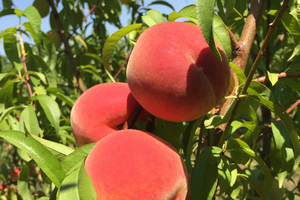 Peaches and the science behind them