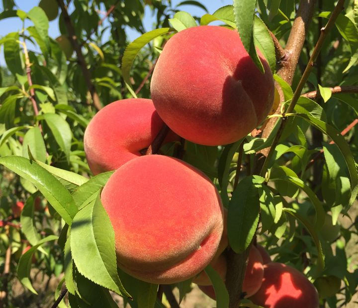 Brightly-colored Michigan peaches are being harvested now. Photo: Bill Shane, MSU Extension.