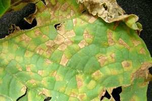 Downy mildew symptoms on cucumber. Photo by Mary Hausbeck, MSU.