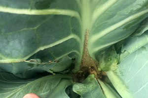 Southeast Michigan vegetable update — Aug. 23, 2017
