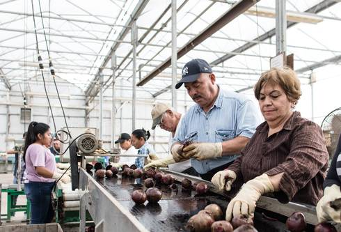 Workers clean and sort beets coming down a conveyor belt.