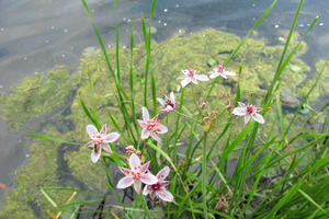 The beautiful flower of flowering rush (Butomus umbellatus) may look lovely, but is invasive in Michigan. Photo: Michigan Sea Grant