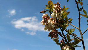 MSU receives $2 million USDA grant to improve blueberry pollination
