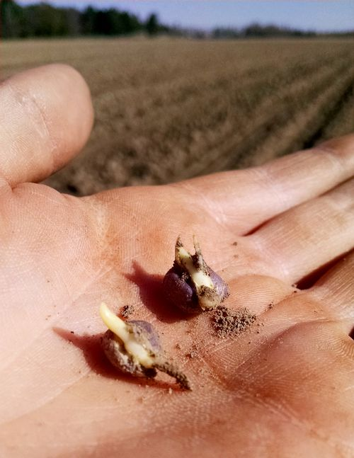 Most corn is germinating, but has not yet emerged in our region. Photo credit: James DeDecker, MSU Extension