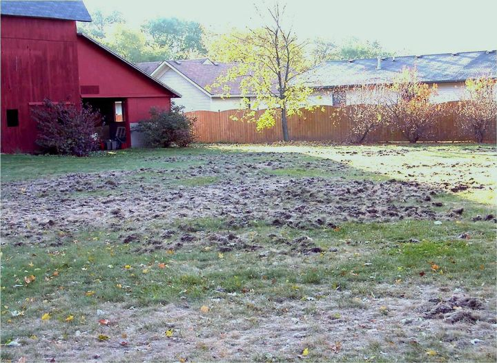 European chafer grub and skunk damage to a DeWitt, Michigan, lawn in fall 2002.