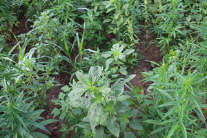 Creating a weed management plan for hemp