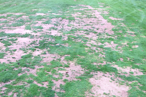 Stressed turfgrass on a golf course fairway. All photos: Kevin Frank, MSU.