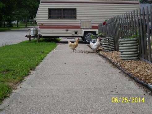 Chickens in an urban setting. Photo credit: Mary Reilly