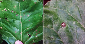 Leaf spot detections in Michigan sugarbeet fields