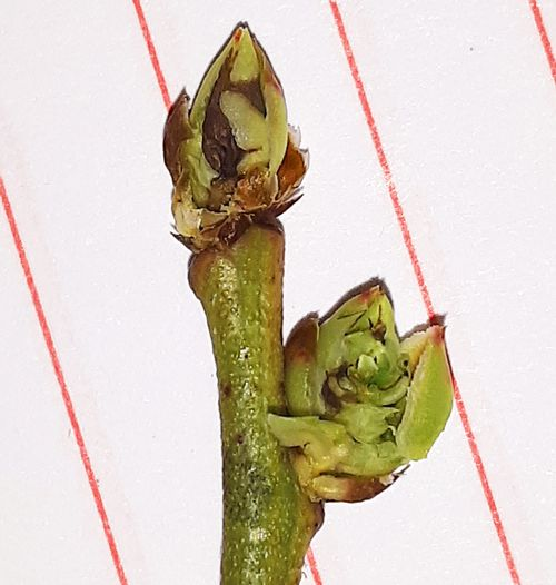 Winter damage to blueberry shoot tip