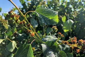 East Michigan fruit update – May 28, 2019