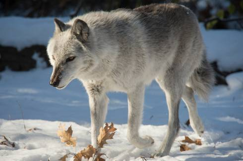 Fear and caring are what's at the core of divisive wolf debate. Photo by G.L. Kohuth