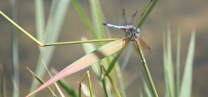 Dragonfly near pond | Michigan State University Extension