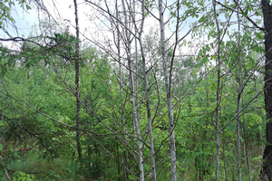 Aspen regeneration following timber harvest | Photo by Mike Schira, Michigan State University Extension