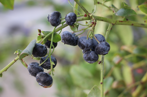 Guo-Qing Song, an associate professor in the MSU Department of Horticulture, is working to breed fruit crops such as blueberries to better tolerate cold temperatures.