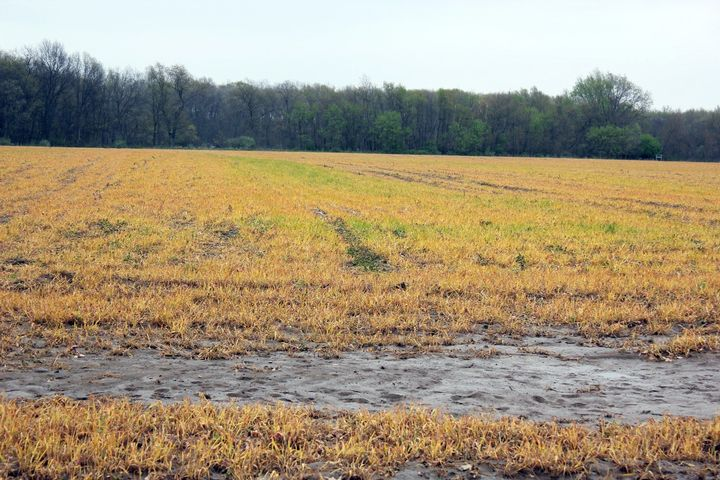 Incomplete burndown of a cover crop. Photo: Bruce MacKellar, MSU Extension.