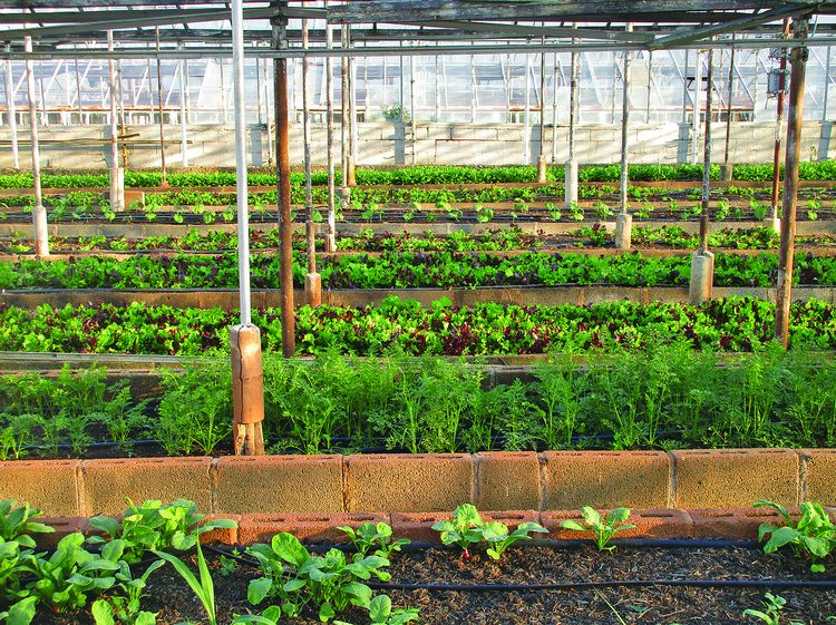 A look inside a greenhouse vegetable garden