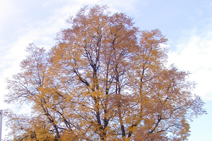 Mature Kentucky coffeetree in fall. Photo credit: Mary Wilson, MSU Extension