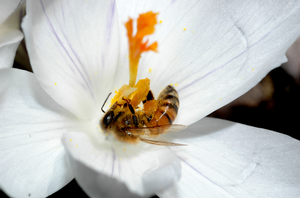MSU scientists have identified how a single gene in honey bees separates the queens from the workers. Courtesy of Zachary Huang