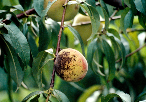 Fruit lesions are small, greenish and circular. They become enlarged and darker as spore production