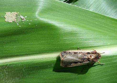 Western bean cutworm moths lay their eggs on sweet corn leaves in small clusters, about the size of a dime. With low earworm and corn borer populations and sprays, this pest could do some nibbling on pre-tassel sweet corn. Photo by Christina DiFonzo, MSU.