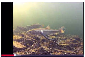 Michigan Sea Grant's YouTube channel offers a number of videos for anglers, like Salmon in the Great Lakes! - Photo courtesy: Michigan Sea Grant