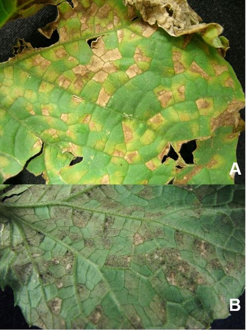 (A) Top side of cucumber leaf with yellow lesions and necrosis defined by the veins. (B) Underside of cucumber leaf displaying dark, fuzzy spore masses.