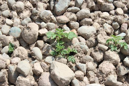 Volunteer potatoes growing from rock piles are a potential source of late blight. All photos by Fred Springborn, MSU Extension