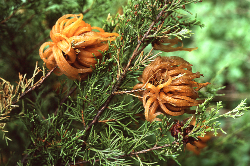 Active cedar galls on the alternate host for this fungus – red cedar.