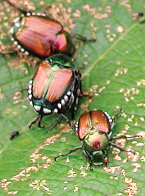 Adult beetles.
