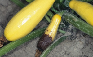 Blossom end rot on summer squash. Photo by Gerald Holmes, California Polytechnic State University San Luis Obispo, Bugwood.org