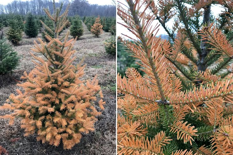 Early frost injury to Canaan fir