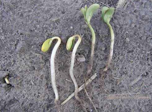 Soybean Planting Depth Matters Msu Extension