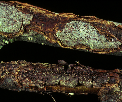 A distinct margin develops between healthy and diseased tissue, which causes the bark to crack aroun