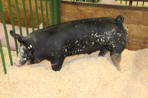 Keeping pigs, people and the public healthy during fairs and exhibitions