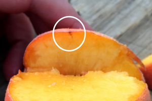Late-season BMSB damage in peaches can be hard to see, but when sliced, it's apparent where the stylet (piercing-sucking mouthparts of plant bugs) entered the fruit. A reddish line goes down about 0.25 inch into the fruit (as indicated by circle).
