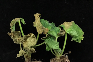 Symptoms of Ralstonia solanacearum on young geraniums