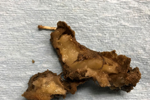 Photo 1. Tuber infected with Dickeya dianthicola. Rotting tissue is mushy, slimy and water soaked; infected areas often turn brown or black around the rotting area upon exposure to air. Photo by Noah Rosenzweig, MSU.