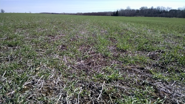 Overwintered cover crops, like the cereal rye pictured here, should be terminated at least two weeks before corn or soybean planting. Photo by James DeDecker, MSU Extension.